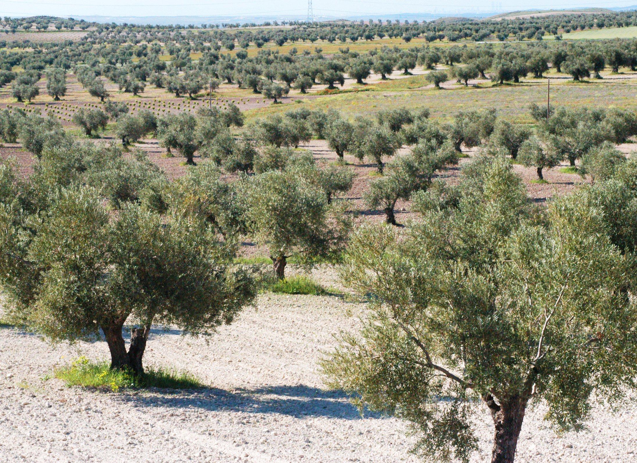 aceitera-campos-de-olivos